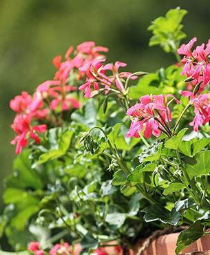 Kwiaty Balkonowe Sekret Udanej Uprawy Gardenstart